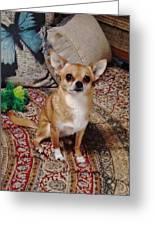 Chihuahua Cutie Greeting Card