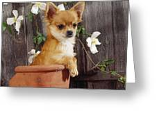 Chihuahua Dog In Flowerpot Greeting Card