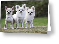 Chihuahua Dogs Greeting Card