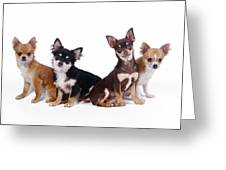 Chihuahuas Dogs Greeting Card