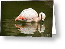 Chilean Flamingo Reflection Greeting Card