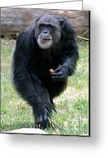 Chimpanzee-5 Greeting Card