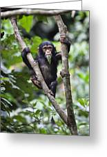 Chimpanzee Baby Eating A Leaf Tanzania Greeting Card