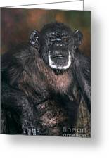 Chimpanzee Portrait Endangered Species Wildlife Rescue Greeting Card