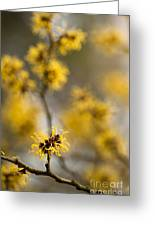 Chinese Witch Hazel Greeting Card