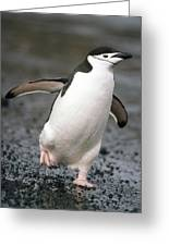 Chinstrap Penguin Deception Isl Greeting Card