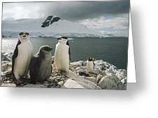 Chinstrap Penguins With Chick Paradise Greeting Card