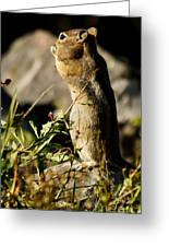 Chipmunk   #9594 Greeting Card