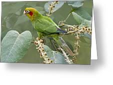 Chiriqui Conure 2 - Dp Greeting Card