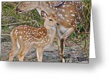 Chital Deer And Fawn Greeting Card