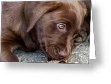 Chocolate Lab Pup Greeting Card