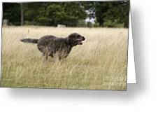 Chocolate Labradoodle Running In Field Greeting Card