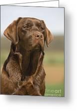 Chocolate Labrador Dog Greeting Card