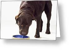 Chocolate Labrador Drinking Greeting Card