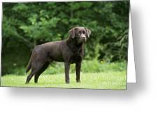 Chocolate Labrador Greeting Card