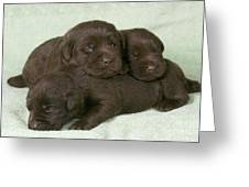 Chocolate Labrador Puppies Greeting Card