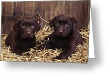 Chocolate Labrador Puppies Greeting Card