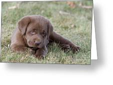 Chocolate Labrador Puppy Greeting Card
