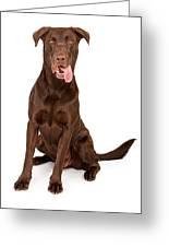 Chocolate Labrador Retriever With Tongue Out Greeting Card
