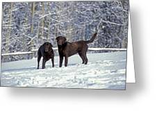 Chocolate Labrador Retrievers Greeting Card