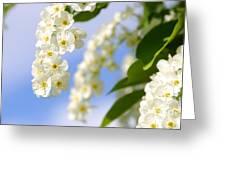 Choke Cherry In Bloom Greeting Card