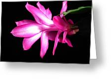 Christmas Cactus 11 Greeting Card