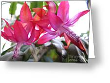 Christmas Cactus Schlumbergera Greeting Card