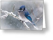 Christmas Card Bluejay Greeting Card