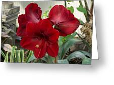 Christmas Red Amaryllis Flowers Greeting Card