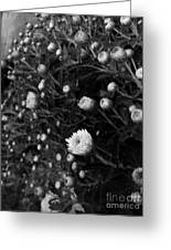 Chrysanthemes Original Greeting Card