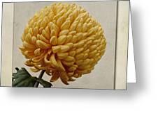Chrysanthemum Grandiflorum Yellow Greeting Card by John Edwards