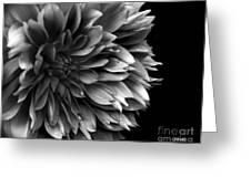 Chrysanthemum In Black And White Greeting Card