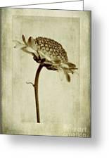 Chrysanthemum In Sepia Greeting Card