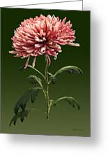 Chrysanthemum Shelbers Greeting Card