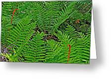 Cinnamon Ferns Along Skyline Trail In Cape Breton Highlands Np-n Greeting Card
