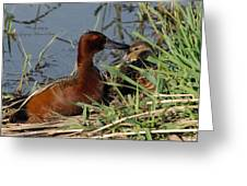Cinnamon Teal Greeting Card