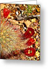 Claret Cup Cactus On Panther Junction Nature Trail In Big Bend National Park-texas Greeting Card