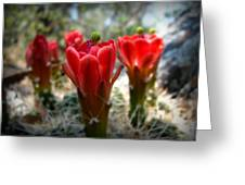 Claret Cup Summer Blooms Greeting Card