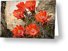 Claret Cups Greeting Card by Thomas Pettengill