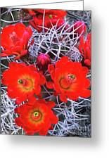 Claretcup Cactus Blooms Greeting Card