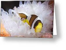 Clarks Anemonefish In White Anemone Greeting Card