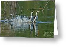Clarks Grebes Dancing Greeting Card