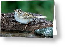 Clay-colored Sparrow Spizella Pallida Greeting Card