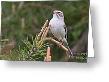 Clay-coloured Sparrow Pictures 35 Greeting Card