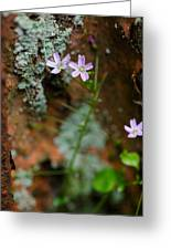 Claytonia And Rust Greeting Card
