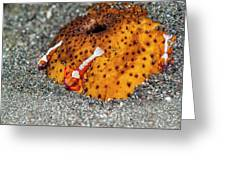Cleaner Shrimp On Sea Cucumber Greeting Card