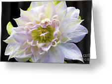 Clematis 'belle Of Woking' Greeting Card