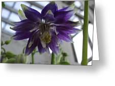 Clematis Flowered Columbine Greeting Card
