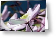 Clematis Montana Greeting Card