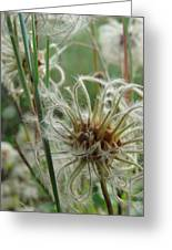 Clematis Seed Greeting Card